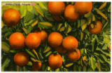 Citrus Postcards024a